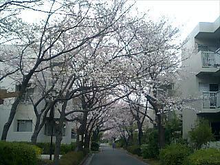 一丁目の桜