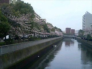 中央小学校沿いの桜